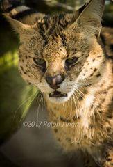 Wildcat Growl