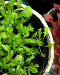 Rocket - Salad Greens