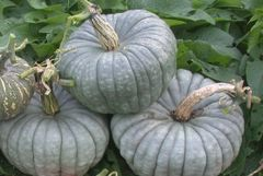 Pumpkin - Queensland Blue