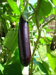 Eggplant - Early Long Purple
