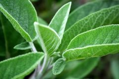 Sage - Salvia officinalis