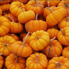 Pumpkin - Jack Be Little