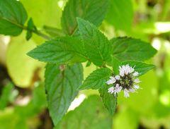 Mint - Peppermint