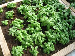 Basil - Lemon