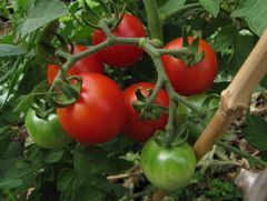 Tomato - Siberian