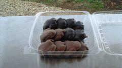 Handmade Chocolate Caramel Pecan Turtle Dozen