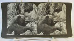 Vintage American Steroscopic Company Great Black Bear at Home Stereoview Card