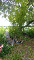 Bambusa malingensis sea breeze clumping bamboo