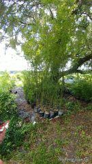 Bambusa malingensis sea breeze clumping bamboo