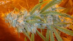 BRUCE BANNER #3 X GIRL SCOUT COOKIE NEW STRAIN