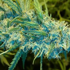 Blue Knight NEW STRAIN NOW AVAILABLE