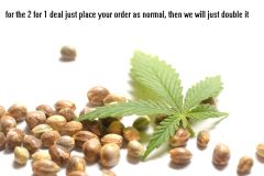 cannabis seeds SALE 2 FOR 1 NO LIMITS ON HOW MANY YOU ORDER trumpseeds.com