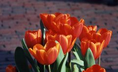 Boston tulips orange