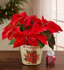 Holiday Traditions Poinsettia - chr06