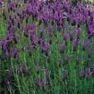 French Lavender tin