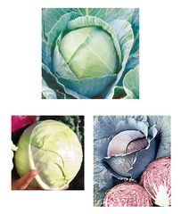 Cabbage Multi 6 Pack