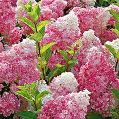 Hydrangea Vanilla Strawberry 2' Hydrangea paniculata 'Renhy'