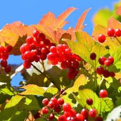 "Cranberrybush Redwing American 18"" Viburnum trilobum 'JN Select'"
