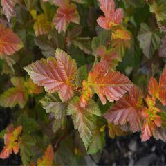 """Ninebark Amber Jubilee 18"""" Physocarpus opulifolius 'Jefam'"""