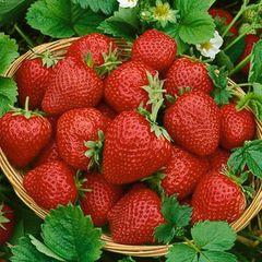 Strawberry Quinault #1 10 plants per bundle