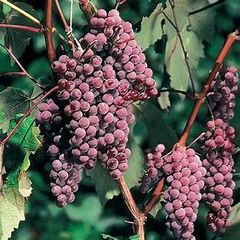 Grape Canadice Seedless #1 Vitis