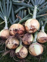 Onion Plants, Super Star