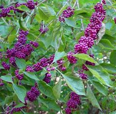 Beautyberry Japanese Issai 2'