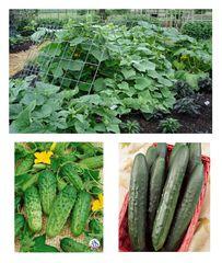 Cucumber Multi Pack