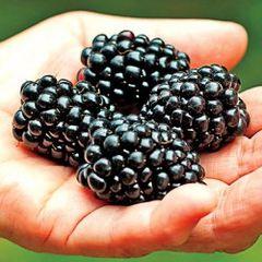 Blackberry Kiowa
