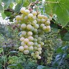 Grape Himrod Seedless #1 Vitis