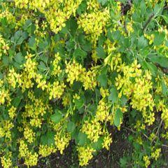 "Currant Yellow Flowering 18"" Ribes aureum"