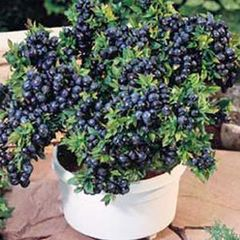 Blueberry, Tophat Southern Highbush