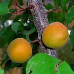 Apricot trees Moongold and Sungold (2)