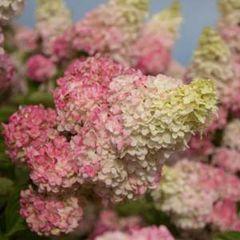 Hydrangea Berry White 2' Hydrangea paniculata 'Renba'