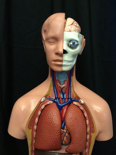 Human Anatomy Model (Large) | Cornerstone Educational Supply