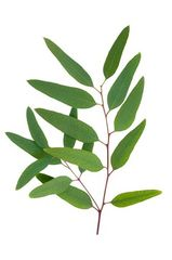Eucalyptus Essential Oil (Globulus)